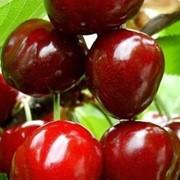 Саженцы вишни, купить Украина фото
