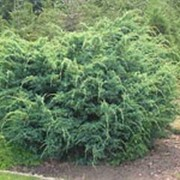 Можжевельник китайский Блу Альпс (Juniperus chinensis 'Blue Alps') фото