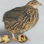 Яйцо инкубационное фото
