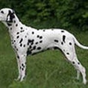 Разведение собак. фото