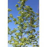 Клен сахарный (Acer saccharinum С 60) фото