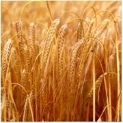 Ячмень зерно фото
