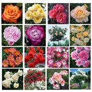 Ландшафтный дизайн сада Саженцы роз KORDES и TANTAU Германия фото