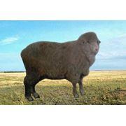 Порода казахская мясо-шерстяная фото