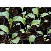Выращивание рассады овощных культур под заказ фото
