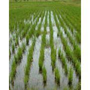 Выращивание риса фото