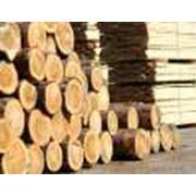 Продажа ценных сортов деревьев дуб ясень. фото