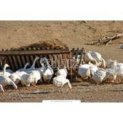 Утки мясные фото