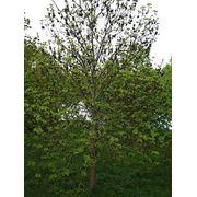Саженцы вяза Саженцы лиственных деревьев фото