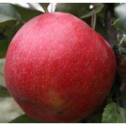 Саженцы яблонь элитных сортов фото