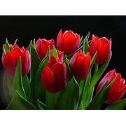 луковицы тюльпанов фото