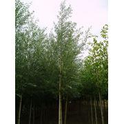 Саженцы ивы Саженцы лиственных деревьев фото