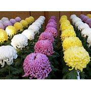 Черенки хризантем профессиональные фото
