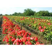 Саженцы роз фото