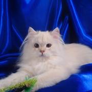 Британская длинношерстная шиншилла поинт с синими глазами! фото