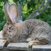 Кролик Немецкий ризен (фландр) фото