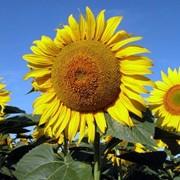 Семена подсолнечника Ясон 3,0-3,5мм фото