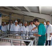 Inseminare artificiala porci Moldova фото