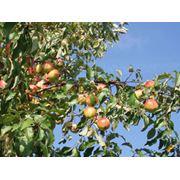 Деревья плодовые в Молдове