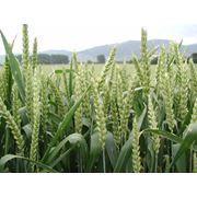 Пшеница мягкая, мягких сортов купить в Казахстане фото