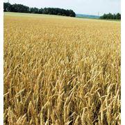 Пшеница 3класс фото