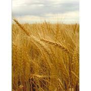 Пшеница 3 класс мягкий фото