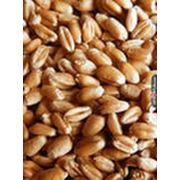 продам пшеница 3 класс 1000 тн фото