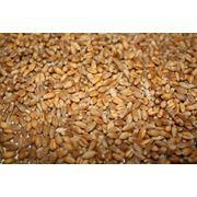 Пшеницы пророщенная солодовый полынный запах. фото
