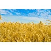 Пшеница золотая фото