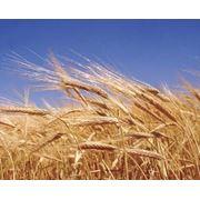 Зерно зерновые культуры Зерно зерновые культуры фото