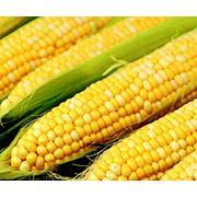 Кукуруза Молдавская 257 фото