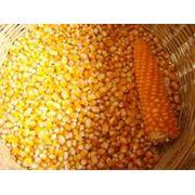 Семена кукурузы Будан-237 фото