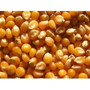 Кукуруза зерно фото