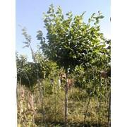 Саженцы карагача, Саженцы лиственных деревьев фото
