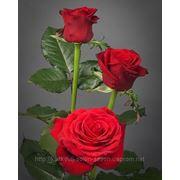 Роза Престиж фото