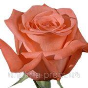 Роза Муви Стар фото
