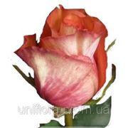 Роза Игуана фото