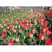 Тюльпаны оптом к 8 марта фото