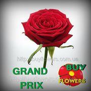 Гран При черные розы оптом, оптом розы красные, Аскания Украина, Grand Prix roses are red, Askania Ukraine