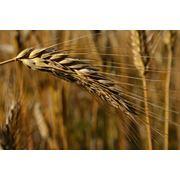 Протравливатели зерна Селест топ фото