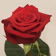 Роза Freedom Колумбия, Киев 90 см