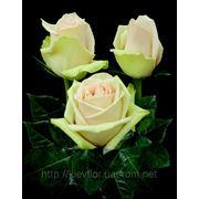 Розы кремовые, сорт Ла Пеpла, CREAM Roses, La Perla, плантация Agrinag, Эквадор