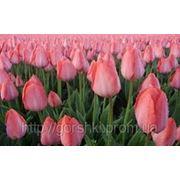 Тюльпаны сорта Династия