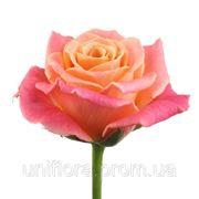 Персиковые розы фото