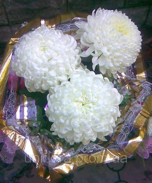 Большие хризантемы