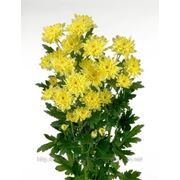 Хризантема Зембла (желтая) фото