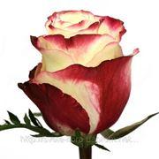 Роза свитнес 60 см
