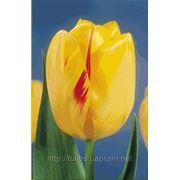 Купить тюльпан оптом OLYMPIC FLAME