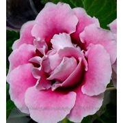 Глоксиния розовая махровая фото