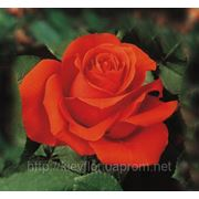 Розы оранжевые опт, сорт Звезда 2000, ORANGE rose Star 2000 Agrinag, поставки с плантаций Агринаг Эквадор
